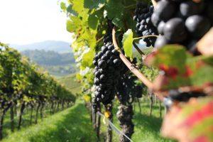 IMG_7212 Weintrauben