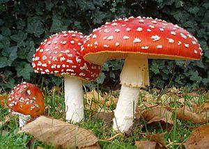 300px-2006-10-25_Amanita_muscaria_crop